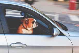 adorable adult animal automotive