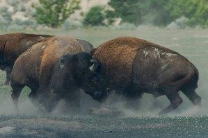 2018-11-09 buffalo fight